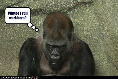 working gorillas grumpy why - 7059801088