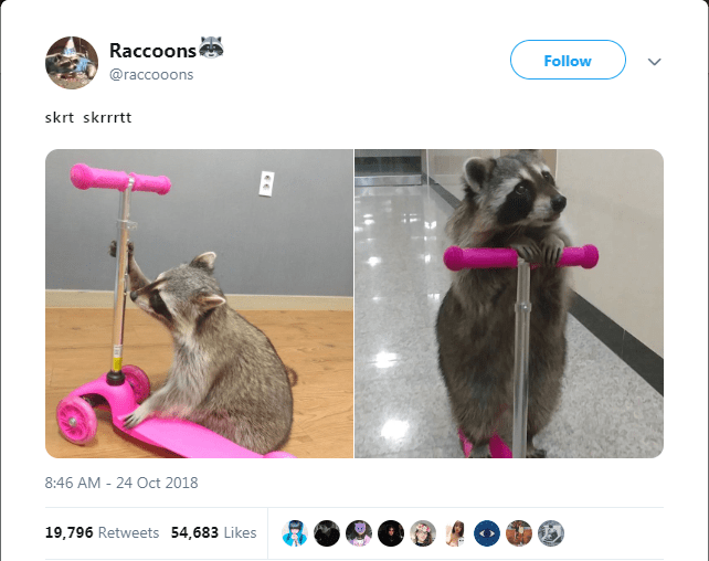 funny tweets of raccoons doing hilarious things