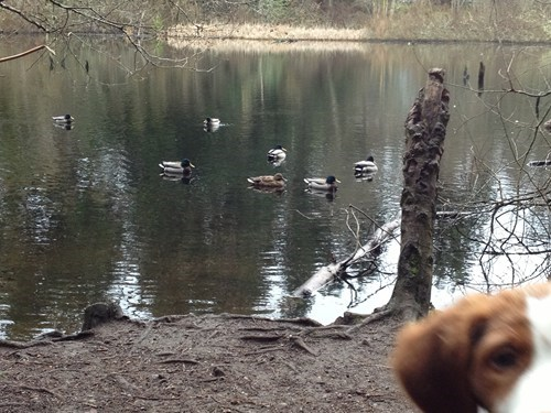 ducks,dogs