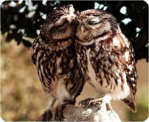 birds creepicute owls squee Valentines day - 7061684992