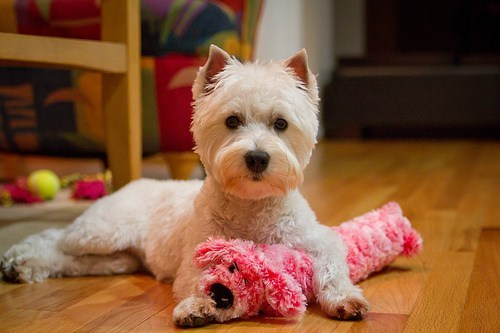 dogs westie goggie ob teh week hunting dog west highland white terrier - 7061878784