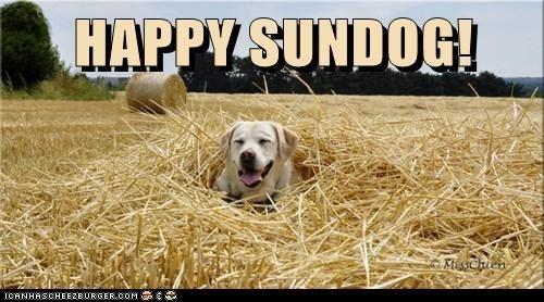 dogs hay labradors Sundog - 7061920768