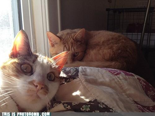 pets cute Cats animals - 7064209152