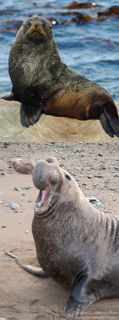 poll,versus,elephant seal,squee spree,sea lion,squee