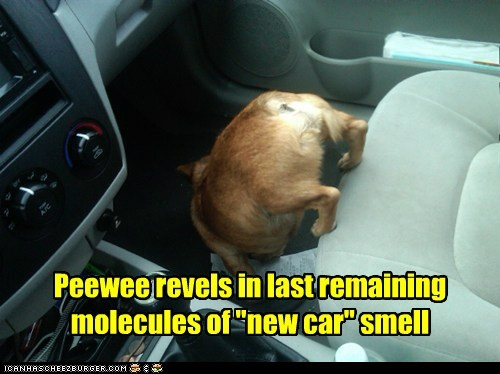 """Peewee revels in last remaining molecules of """"new car"""" smell"""