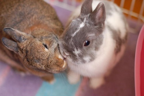 Bunday bunnies kissing squee rabbits - 7067102976