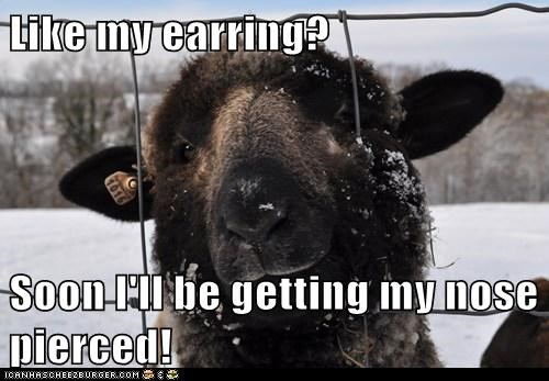 piercing,nose,sheep,Earring,tag