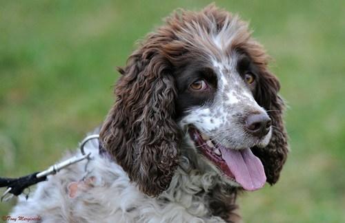 dogs goggie ob teh week winner english springer spaniel - 7074241536
