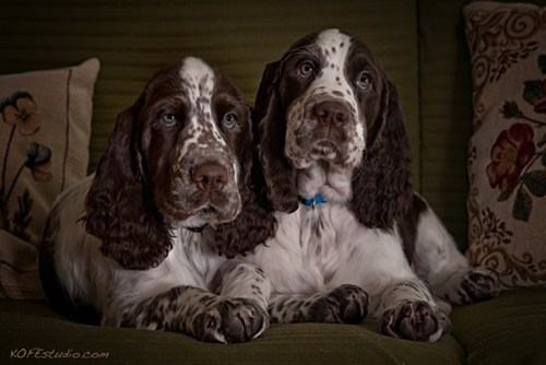 goggie ob teh week hunting dog english springer spaniel - 7075005184