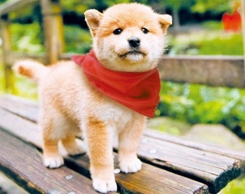 dogs puppies shiba inus cyoot puppy ob teh day - 7075017472
