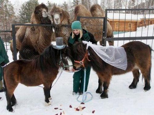 ponies snow shetland ponies wedding - 7075207168