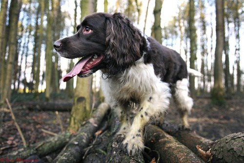 dogs goggie ob teh week hunting dog english springer spaniel - 7078009344