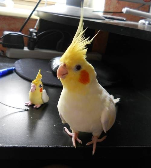 cockatiel,mini me