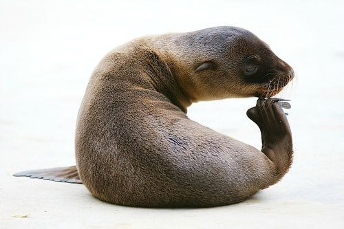 sea lions squee spree squee - 7080230656