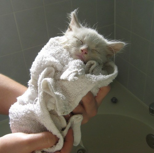 cyoot kitteh of teh day bath Cats - 7080405248
