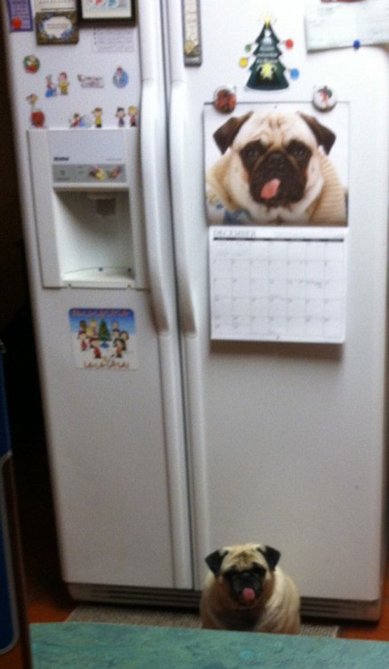 dogs,calendar,pugs,fridge