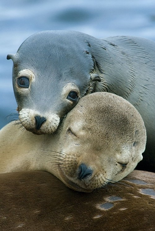 sea lions cuddling squee spree squee - 7082816000