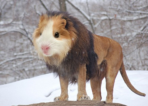 guinea pig,shopped pixels,lion