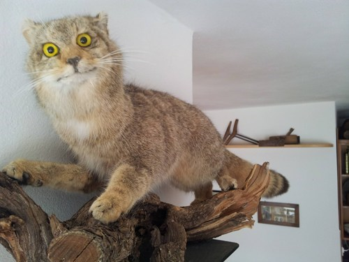 cat,taxidermy