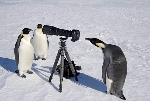 photgrapher birds penguins camera - 7085805312