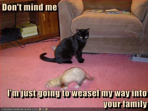 pets ferrets puns weasels family Cats - 7086547968