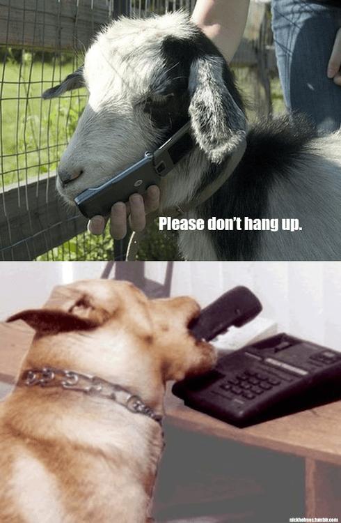 dogs romance phone goats