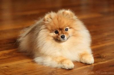 poll dogs goggie ob teh week pomeranians winner - 7093447168
