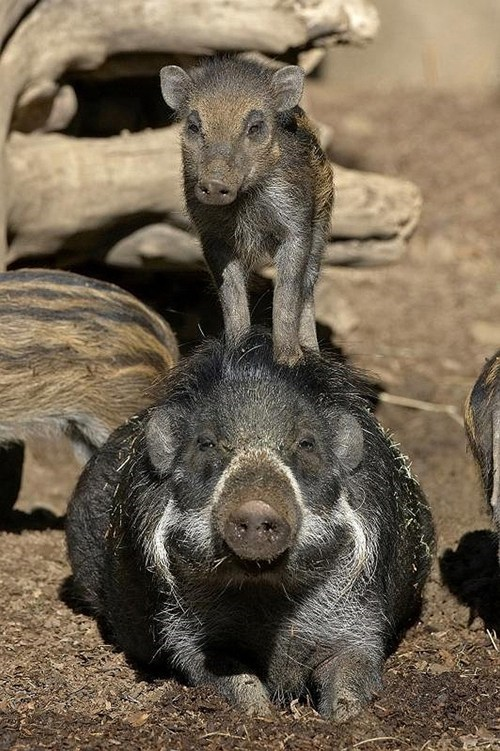 visayan warty pigs pig squee spree squee - 7093860608