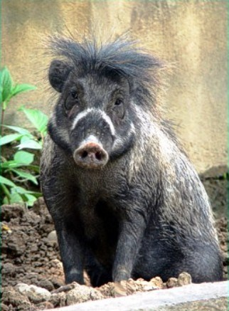 visayan warty pigs mohawks pig squee spree squee - 7093883904