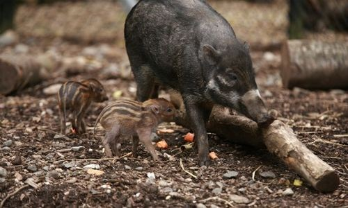 visayan warty pigs,warts,pig,squee spree,squee