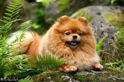 dogs goggie ob teh week pomeranians - 7094639104