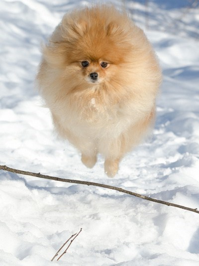 titanic dogs goggie ob teh week pomeranians - 7094644224