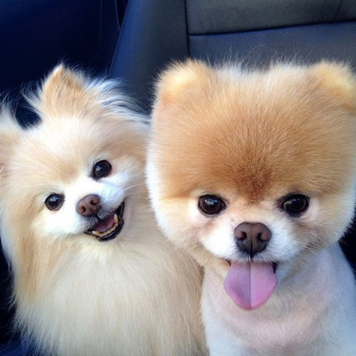 dogs popular boo goggie ob teh week pomeranians - 7094651392