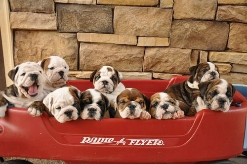 dogs,puppies,red wagon,bulldogs,cyoot puppy ob teh day