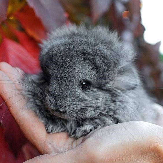 baby chinchilla cuteness overload
