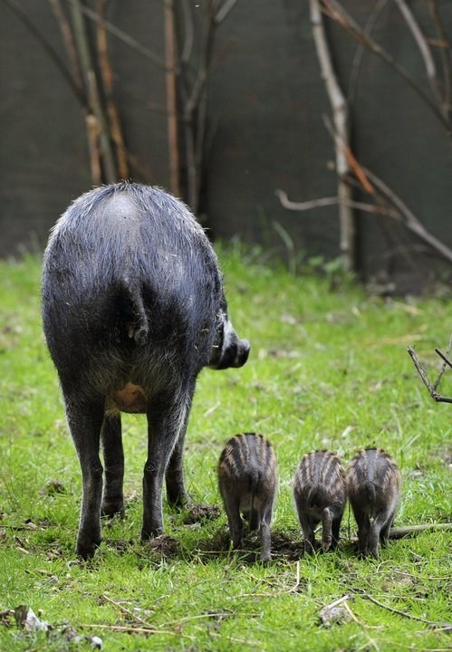 visayan warty pigs pig tails squee spree squee - 7101745920