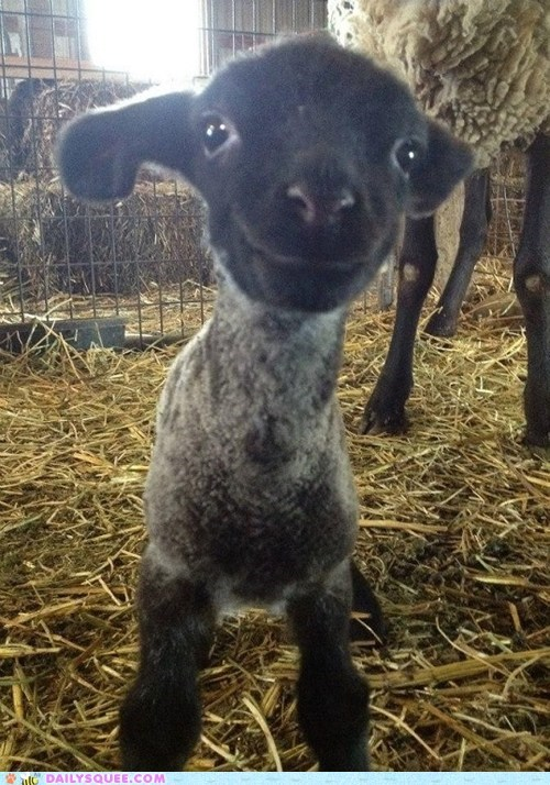 smile,lamb