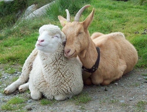 Interspecies Love,Fluffy,goats,fleece,sheep,squee