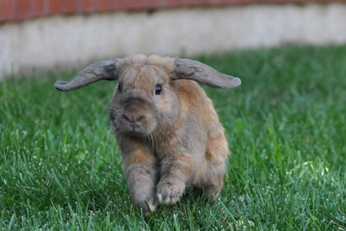 Bunday bunnies helicopters ears squee rabbits