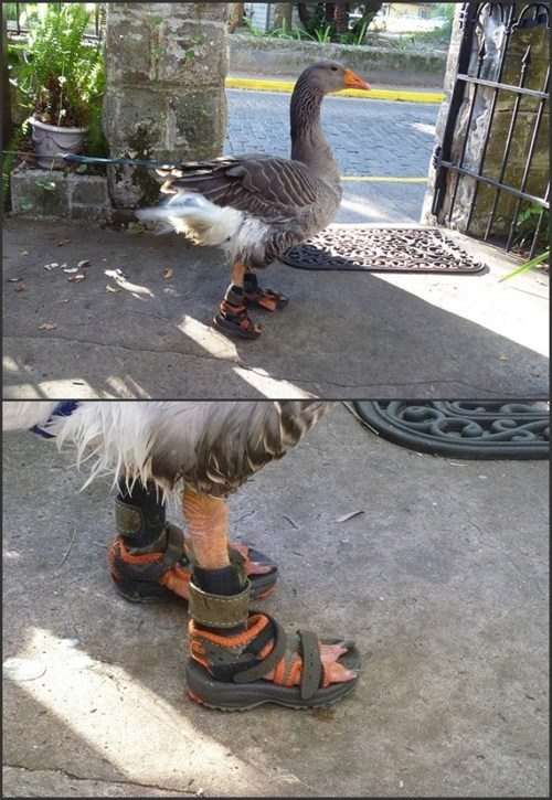 ducks,animals in clothes,sandals
