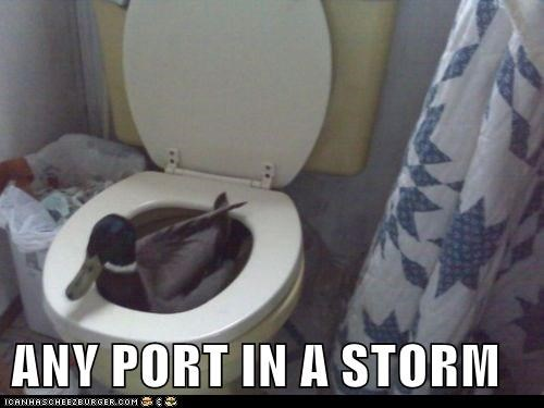 storm,ducks,swimming,port,toilet