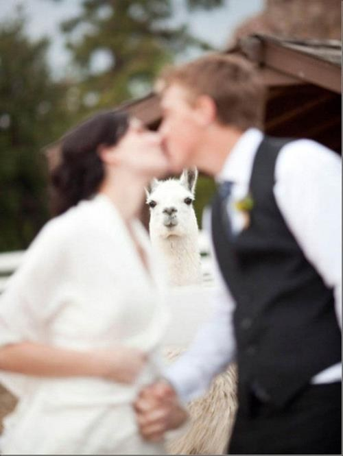 llama,cute,wedding photos