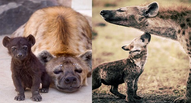 facts about cute hyenas