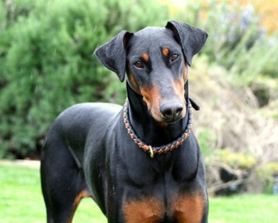 dogs doberman pinschers goggie ob teh week winner - 7111241728