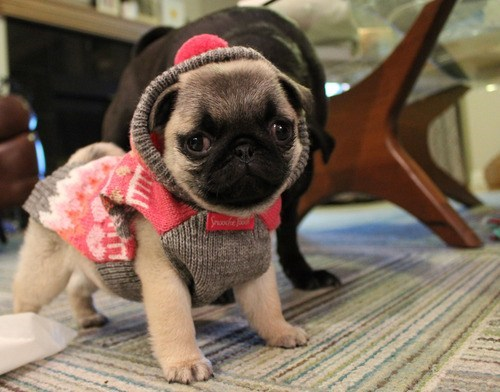 dogs,sweaters,puppies,pugs,cyoot puppy ob teh day