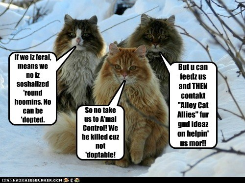 """If we iz feral, means we no iz soshalized 'round hoomins. No can be 'dopted. So no take us to A'mal Control! We be killed cuz not 'doptable! But u can feedz us and THEN contakt """"Alley Cat Allies"""" fur gud ideaz on helpin' us mor!!"""