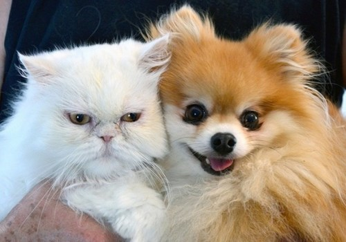 pomeranian dogs goggies r owr friends Cats - 7113955072