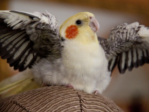 floof birds cockatiels fabulous squee spree squee - 7114176256