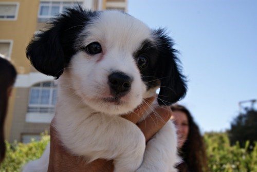 dogs puppies ears Fluffy what breed cyoot puppy ob teh day - 7114289664