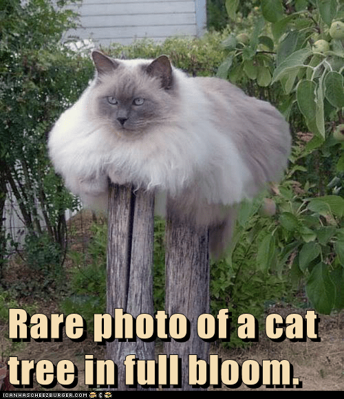 Rare photo of a cat tree in full bloom.